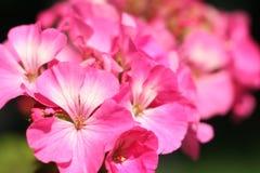 Abstrakt begrepp för blommapelargonnärbild Arkivfoton