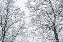 Abstrakt begrepp fryste trädfilialer vinter för blåa snowflakes för bakgrund vit Royaltyfria Foton