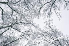 Abstrakt begrepp fryste trädfilialer vinter för blåa snowflakes för bakgrund vit Royaltyfri Fotografi