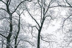 Abstrakt begrepp fryste trädfilialer vinter för blåa snowflakes för bakgrund vit Arkivbild