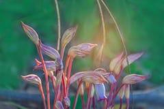 Abstrakt begrepp som är färgrikt av Broomrape, indica Aeginetia, Orobanchaceae, blomman med strålljuset och linsen, bakgrund för  Royaltyfri Bild