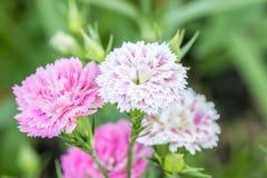 Abstrakt begrepp som är suddigt av rosa och purpurfärgad nejlika, blommar Royaltyfria Bilder