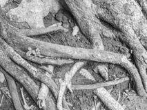 Abstrakt begrepp som är svartvitt av träd, rotar och jord Royaltyfri Fotografi