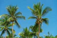 Abstrakt begrepp som skjutas av naturliga kokosnötpalmträd Fotografering för Bildbyråer