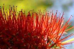 Abstrakt begreppdetaljer av en exotisk röd blomma Arkivfoton