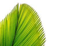 Abstrakt bild av grön palmbladisolatde på bakgrund Arkivfoton