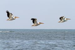 Abstrakt bildande av tre pelikan Royaltyfria Bilder