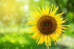 Abstrakt blom- bakgrund med solrosen i trädgården Royaltyfria Bilder