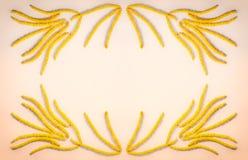 Abstrakt blom- sammansättning, ramen av den gula blommaörhängehasselträt på kött färgar bakgrund med utrymme för text Royaltyfri Bild