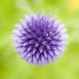 Abstrakt blommamakro av en blå tistel Arkivfoton