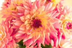 abstrakt blommor för bakgrundschrysanthemumfärg Fotografering för Bildbyråer