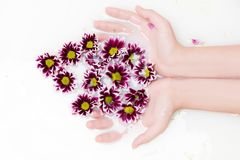 abstrakt blommor för bakgrundschrysanthemumfärg Arkivfoto