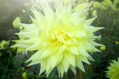 abstrakt blommor för bakgrundschrysanthemumfärg Arkivfoton