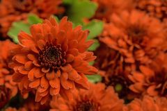 abstrakt blommor för bakgrundschrysanthemumfärg Arkivbild
