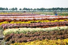 abstrakt blommor för bakgrundschrysanthemumfärg Royaltyfri Fotografi