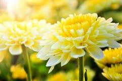 abstrakt blommor för bakgrundschrysanthemumfärg Royaltyfri Bild