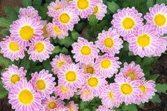 abstrakt blommor för bakgrundschrysanthemumfärg Royaltyfria Bilder