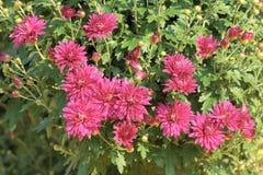 abstrakt blommor för bakgrundschrysanthemumfärg Royaltyfria Foton