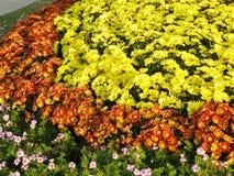 abstrakt blommor för bakgrundschrysanthemumfärg Royaltyfri Foto