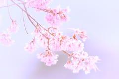 Abstrakt Cherryblomning Royaltyfri Fotografi