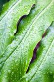 Abstrakt Closeup av bladet för grön växt med regnsmå droppar Fotografering för Bildbyråer