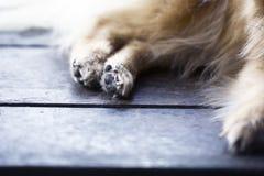 Abstrakt djur bakgrund, foots av brunt pomeranian Fotografering för Bildbyråer