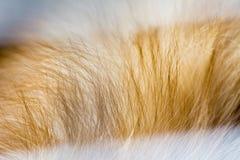 Abstrakt djur bakgrund, päls av brunt pomeranian Arkivbild