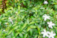 Abstrakt filial och tjänstledighetbakgrund, suddiga blommor som en bakgrund Uddejasmin, uddegardenia, utrymme för text i mall B Royaltyfri Bild