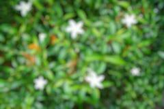 Abstrakt filial och tjänstledighetbakgrund, suddiga blommor som en bakgrund Uddejasmin, uddegardenia, utrymme för text i mall B Royaltyfria Bilder