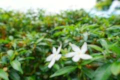 Abstrakt filial och tjänstledighetbakgrund, suddiga blommor som en bakgrund Uddejasmin, uddegardenia, utrymme för text i mall B Royaltyfri Fotografi