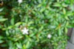 Abstrakt filial och tjänstledighetbakgrund, suddiga blommor som en bakgrund Uddejasmin, uddegardenia, utrymme för text i mall B Arkivbilder