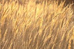 Abstrakt foto av den guld- starrgräset Arkivbild