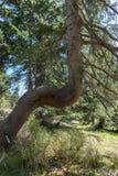Abstrakt fullvuxet träd i skogen Arkivbilder