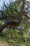 Abstrakt fullvuxet träd i skogen Arkivfoto