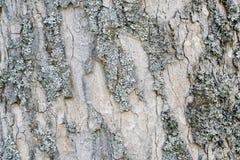 Abstrakt gammal wood bakgrund för textur för trädskäll Arkivfoto