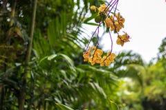Abstrakt gul tropisk blommabakgrund Härliga tropiska blommor på en grön suddig bakgrund bali indonesia Royaltyfri Foto