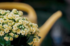 Abstrakt guling blommar buketten som bevattnar canen, den selektiva fokusen Härlig naturlig blom- bakgrund Säsonger som arbeta i  royaltyfri bild