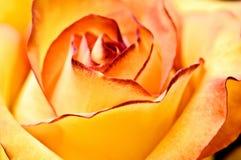 abstrakt härlig roseyellow Royaltyfri Fotografi
