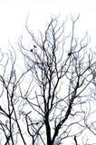 Abstrakt isolat som är svartvit av torkat träd Royaltyfri Fotografi