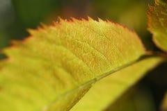 abstrakt, jesień, tło zielony, piękny, jaskrawy, kolorowy, liść naturalny, makro-, klonowy, natura, Październik, park, sezon Obraz Stock