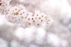 Abstrakt körsbärsröd blomning i våren, bakgrund Arkivbild