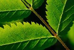 abstrakt kant jagged leaf Fotografering för Bildbyråer