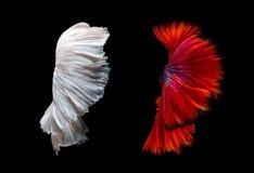 Abstrakt konst av flyttningfisksvansen av den Betta fisken Arkivbilder
