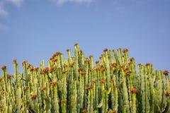 Abstrakt konstnärlig sikt av Euphorbiakandelaber, jätte- suckulent växt Fotografering för Bildbyråer