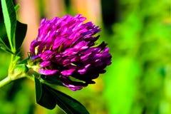abstrakt lila för bakgrundsblommagreen Arkivbilder