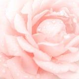 Abstrakt makroskott av den härliga rosa färgrosblomman Royaltyfria Bilder