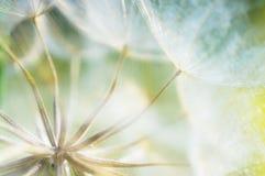 Abstrakt maskrosblommabakgrund, closeup med mjuk foc royaltyfri fotografi