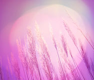 Abstrakt miękkości piórka trawy różowy oświetleniowy tło Obrazy Stock