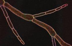 Abstrakt micrograph av trådlika marin- alger Arkivbild