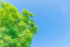 Abstrakt mjuk fokusyttersidatextur av Cork Tree, indisk kork, Millingtonia hortensis, Bignoniaceae, växttjänstledighet med den bl Royaltyfri Foto